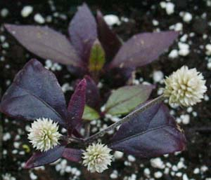 Alternanthera Beautifull Flowers
