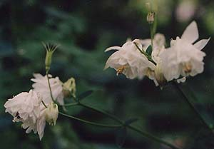 Aquilegia vulgaris, double form