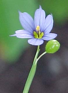 Sisyrinchium montanum (species)