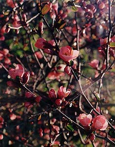 Chaenomeles japonica (unknown)