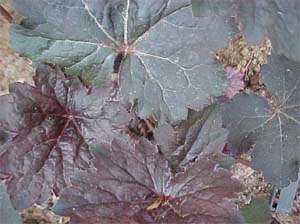 Heuchera 'Chocolate Veil'
