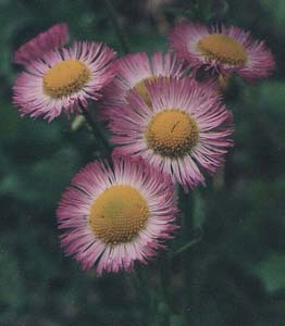 Inula dysenterica (species)