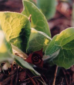 Asarum canadensis (species)