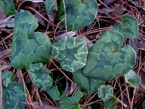 Cyclamen hederifolium (species)