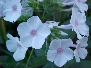 Phlox paniculata (species)