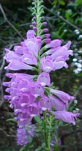 Physostegia virginiana (species)