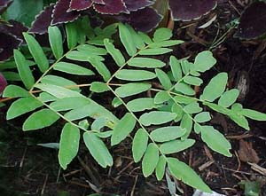 Osmunda regalis (species)