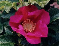 Rosa rugosa (species)