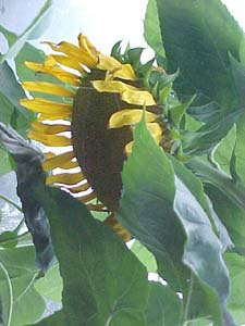 Helianthus annus 'Russian Giant'