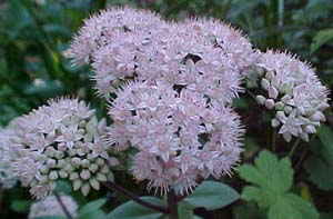 Sedum matrona (species)