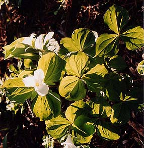 Trillium chloropeltalum (species)
