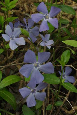 Vinca minor creeping myrtle, periwinkle
