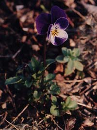 Viola tricolor (unknown)