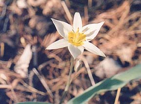 Tulipa bakeri (unknown)