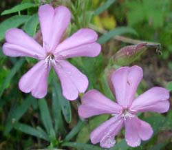 Phlox divaricata (species)