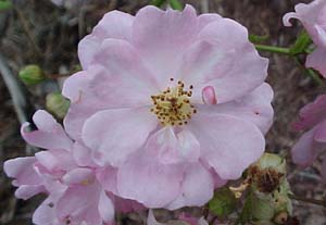 Rosa 'William Lobb'
