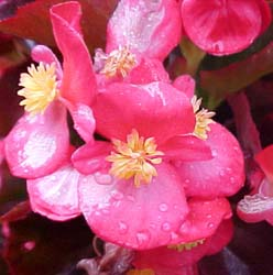 Begonia semperflorens (Cultorum Group) Unknown