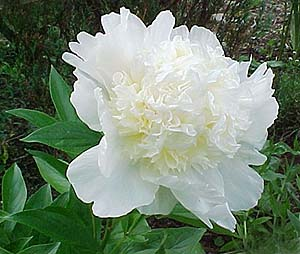 Paeonia officinalis 'Charlie's White'