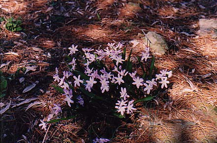 Chionodoxia forbesii