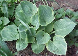 Hosta 'Crusader'