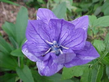 Platycodon Double Balloon Flower
