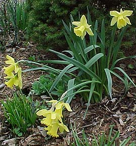 Narcissus pseudonarcissus 'Golden Harvest'