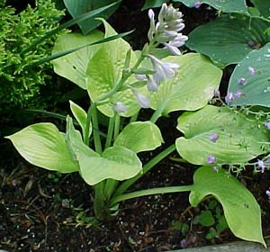 Hosta 'Golden Waffles'