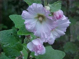 Alcea rosea Seedlings