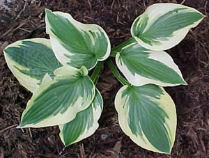 Hosta 'Honeysong'