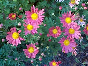 Dendranthemum syn Chrysanthemum Sport of 'Single Korean'