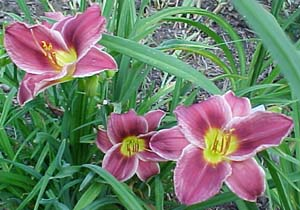 Hemerocallis 'Little Mitzie'