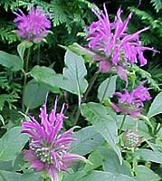 Monarda didyma Unknown