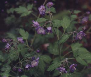 Polemonium reptans (species)
