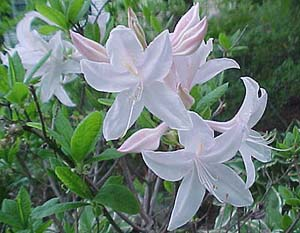 Rhododendron 'White Light'