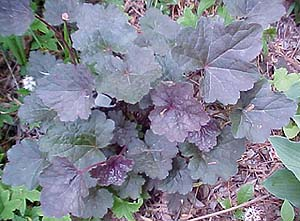 Heuchera sangiunea 'Palace Purple'