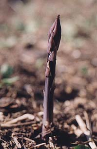 Asparagus officinalis 'Purple Passion'