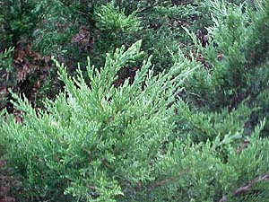 Juniperus x media 'Phitzeriana Aurea'
