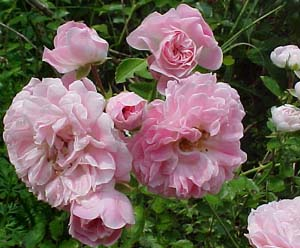Rosa Unknown