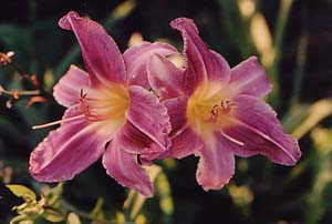 Hemerocallis 'Prarie Blue Eyes'