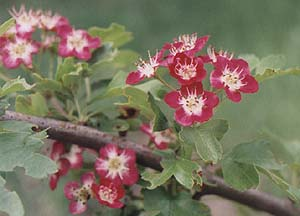 Crataegus laevigata 'Crimson Cloud'