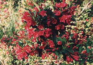 Weigela florida 'Red Prince'