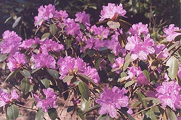 Rhododendron unknown
