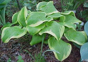 Hosta 'Shade Fanfare'