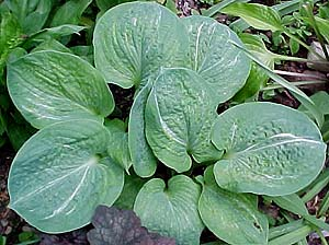 Hosta 'Spilt Milk'