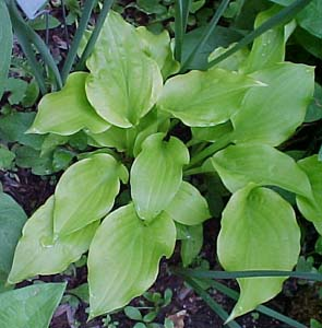 Hosta 'Sweet Tater Pie'