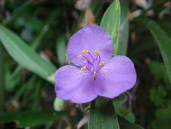Tradescantia virginiana (species)